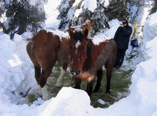 The rain-scalded and starving Horses during the rescue (Supplied)